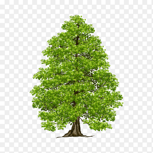 Cedar tree on transparent background PNG