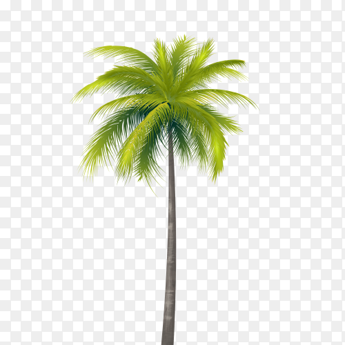 Coconut Tree on transparent Background PNG
