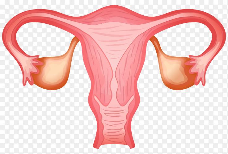 Female Uterus on transparent PNG