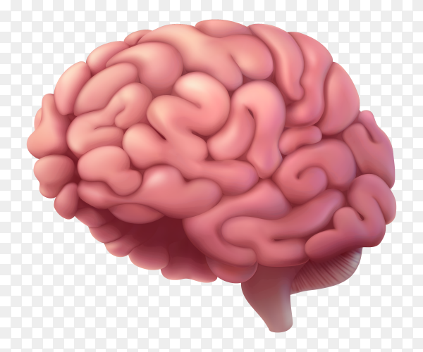 Human being brain on transparent background PNG