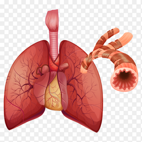 Human being lungs with arteries  on transparent backgrounf PNG