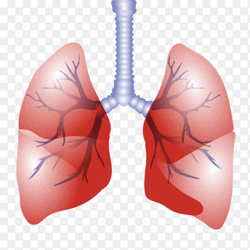 Lungs with arteries clipart PNG