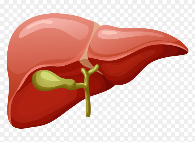 Natural color for Liver vector PNG