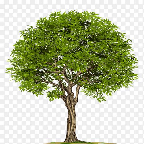 Oak tree on transparent background PNG