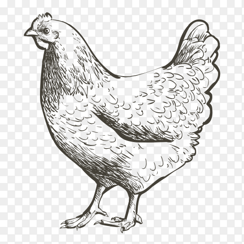 Sketch chicken clipart PNG