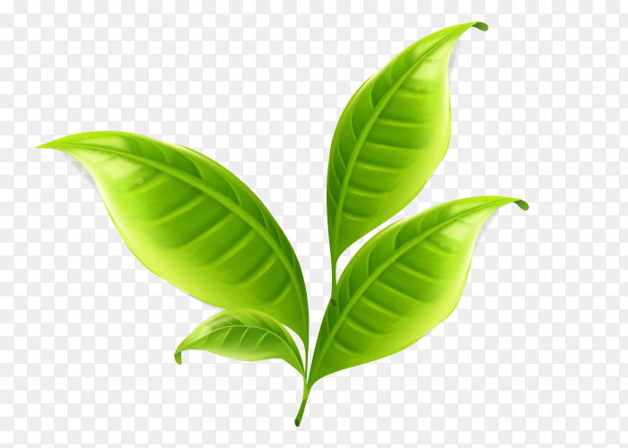 Tree leaves vector PNG