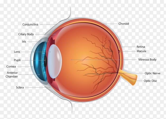 Eye anatomy details on transparent background PNG