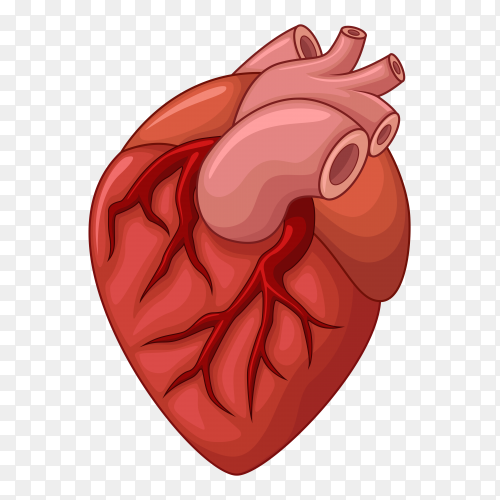 Human heart vector PNG