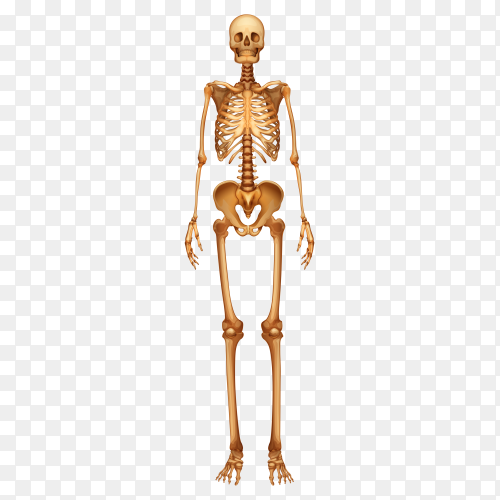 Human skeletal system on transparent background PNG