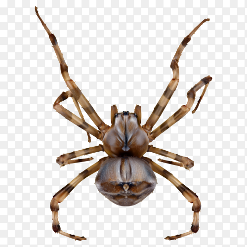 Realistic spider isolated Premium vector PNG