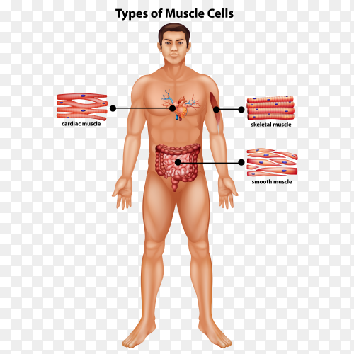 Types of muscle cells on transparent background PNG