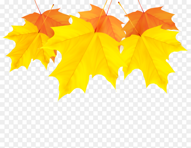 Yellow Maple leaf on transparent PNG