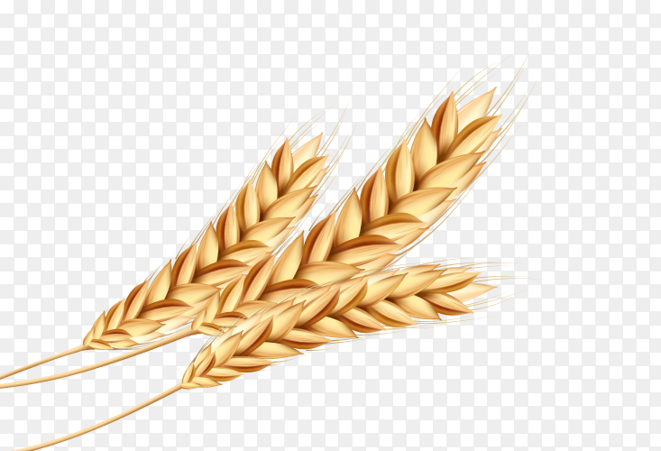 Yellow Wheat on transparent background PNG