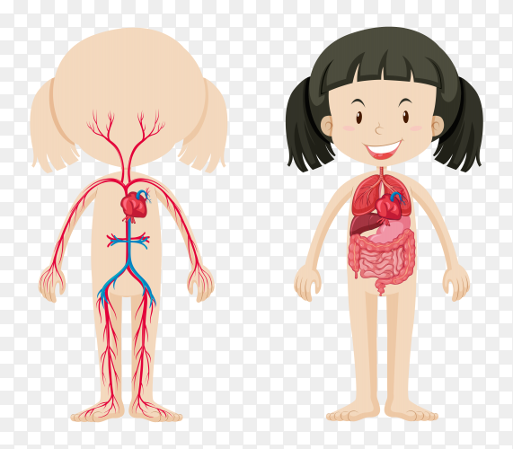 Body system of Girl on transparent background PNG
