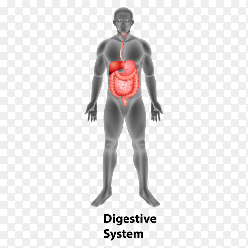 Digestive system human organs Premium vector PNG