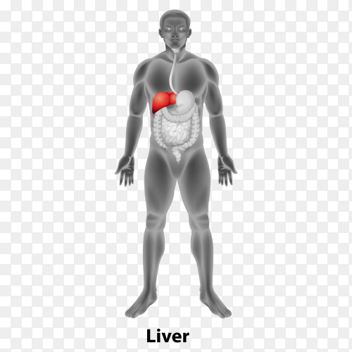 Liver human on transparent background PNG