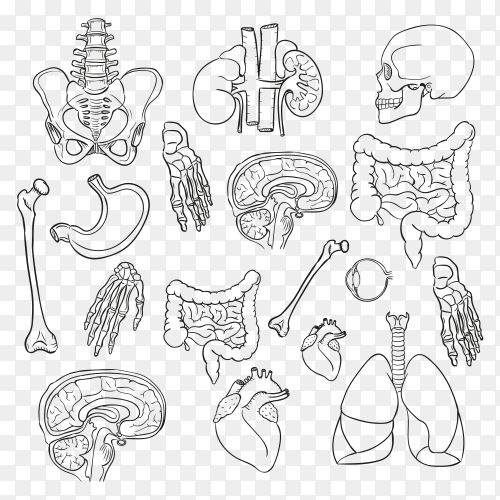 Sketchy Human Anatomy on transparent background PNG