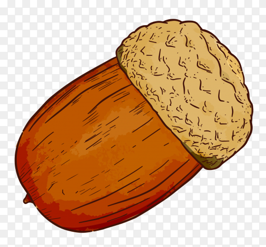 Acorn hand draw isolated illustration premium vector PNG