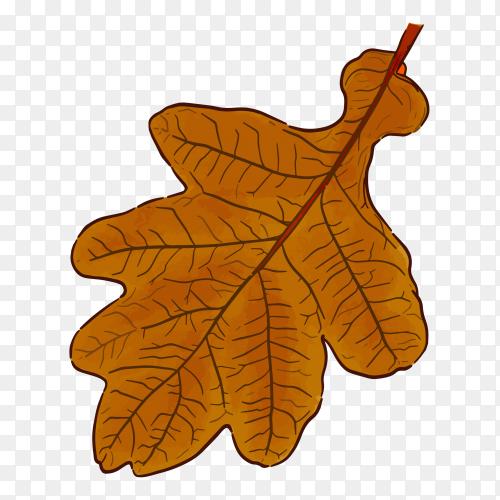Acorn leaf illustration on transparent background PNG