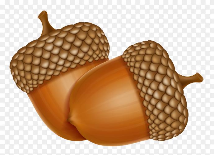 Autumn oak acorns illustration on transparent background PNG