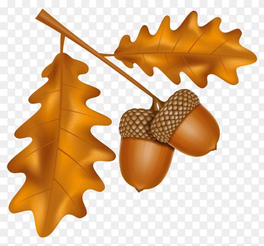 Autumn oak acorns with leaves illustration premium vector PNG