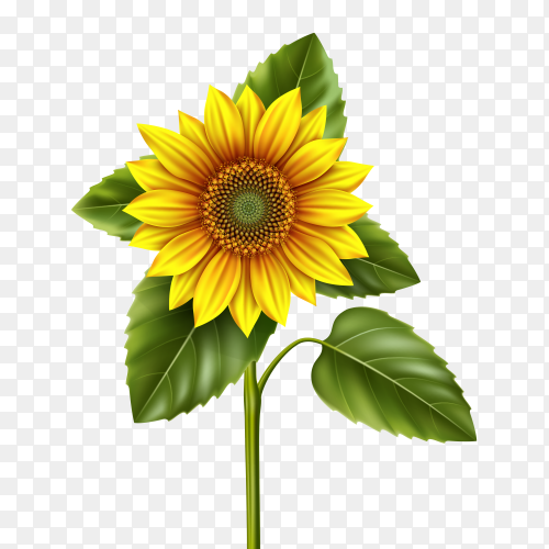 Beautiful Sunflower illustration on transparent background PNG