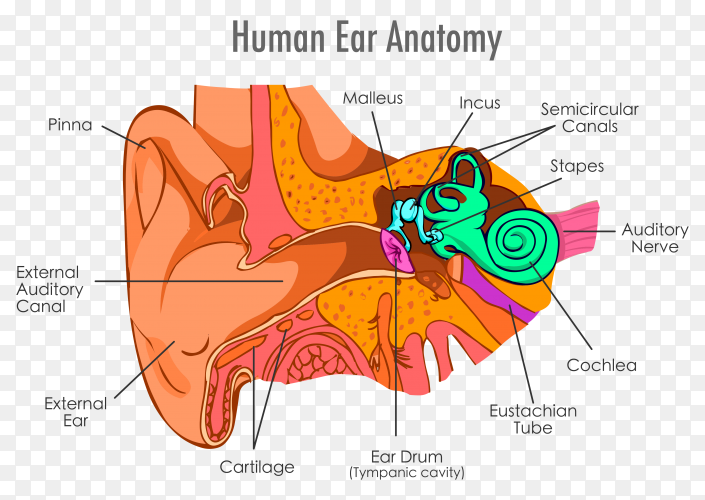 Human Ear anatomy illustration on transparent background PNG