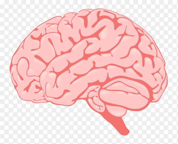 Human brain illustration on transparent background PNG