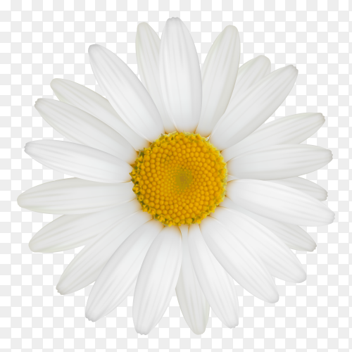 White flower illustration premium vector PNG
