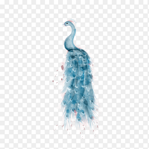 Blue peacock watercolor on transparent background PNG