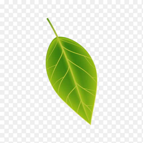Realistic Green leaf isolated on transparent PNG