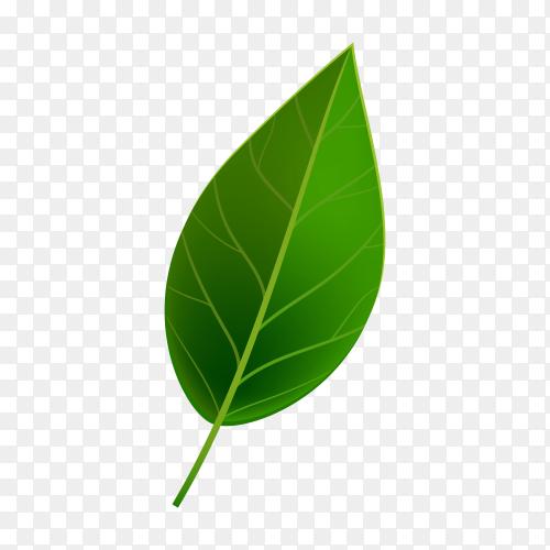 Realistic Green leaf on transparent PNG