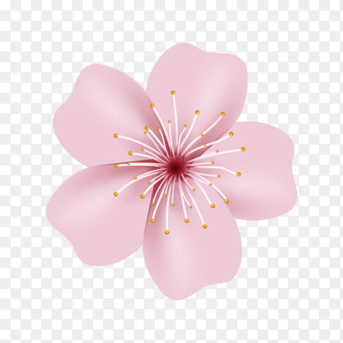 Realistic sakura or cherry blossom Premium vector PNG