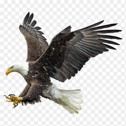 Bald eagle winged flying swoop attack hand draw and paint on transparent background PNG