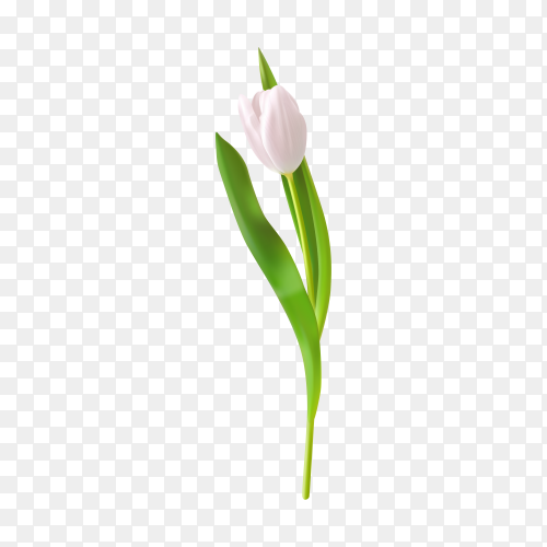 White tulips isolated on transparent background PNG
