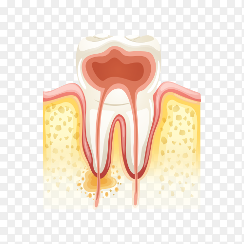 Human tooth anatomy enamel on transparent background PNG