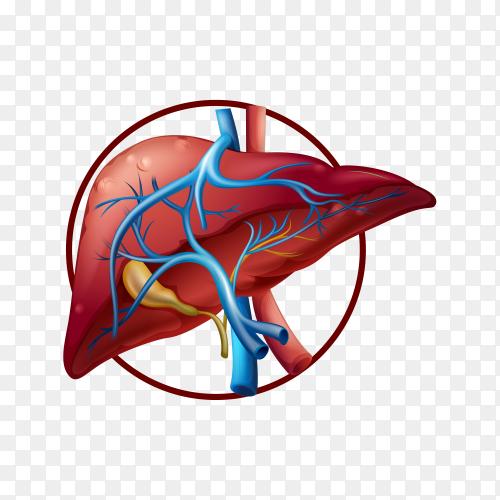 Fatty liver illustration on transparent background PNG