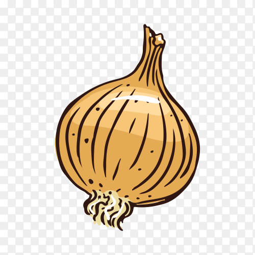Hand drawn onion isolated on transparent background PNG