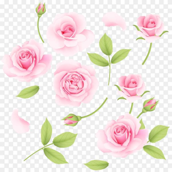 Pink roses collection vector PNG