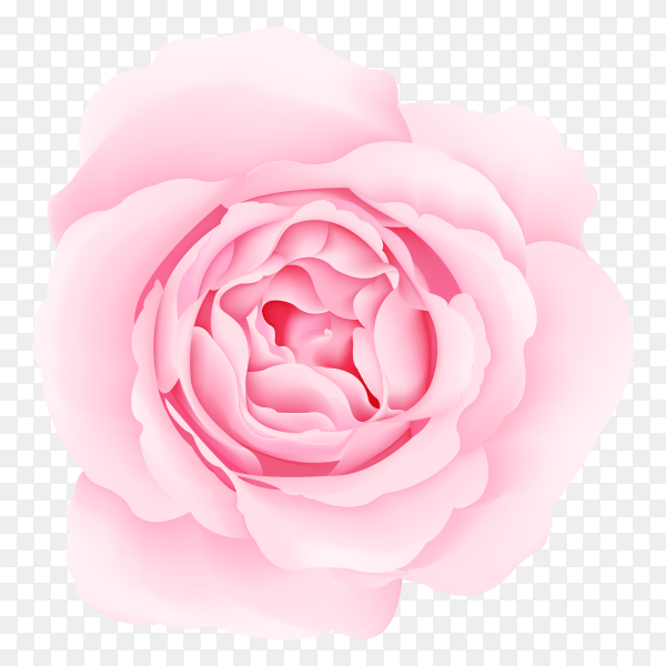 pink roses on transparent background PNG