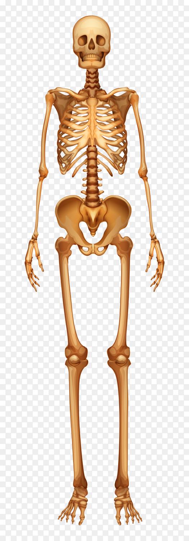 Human skeletal system on transparent background PNG