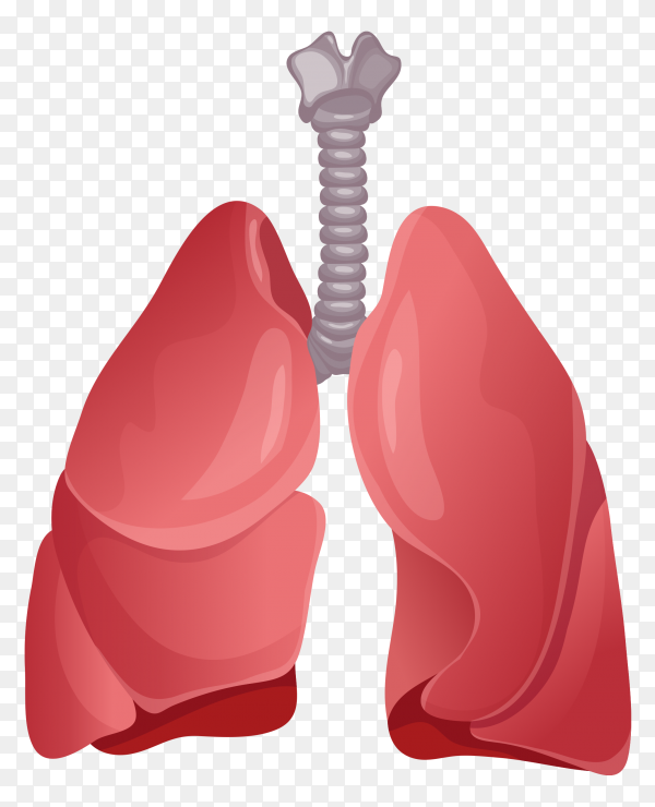 Natural color of lungs vector PNG
