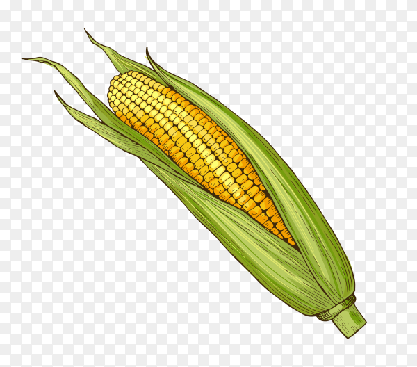 Sweet corn on transparent background PNG