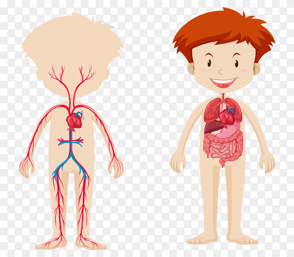 Body system of boy on transparent background PNG