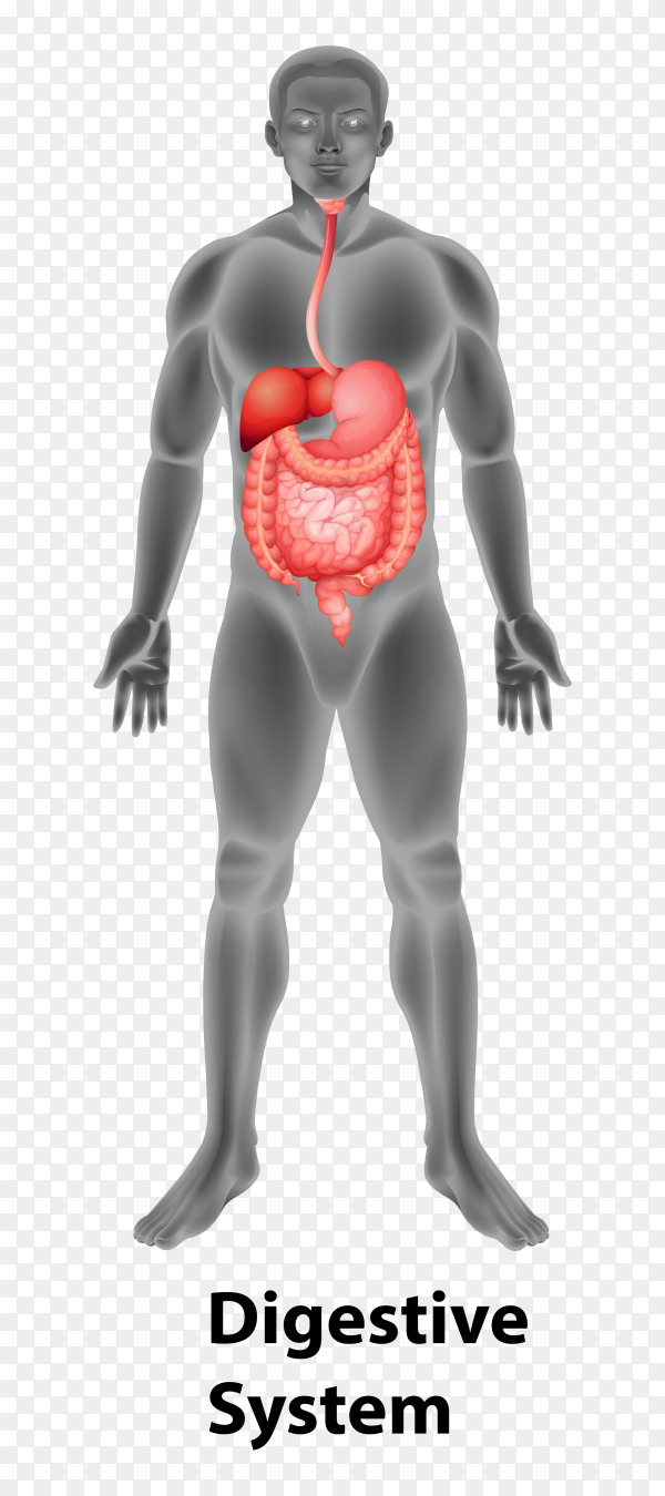 Digestive system human organs Premium vector PNG