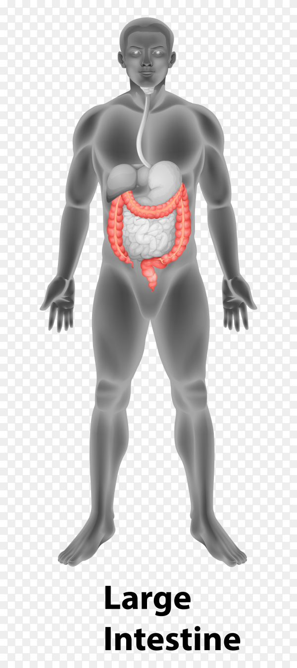 Large intestine in human body Premium Vector PNG