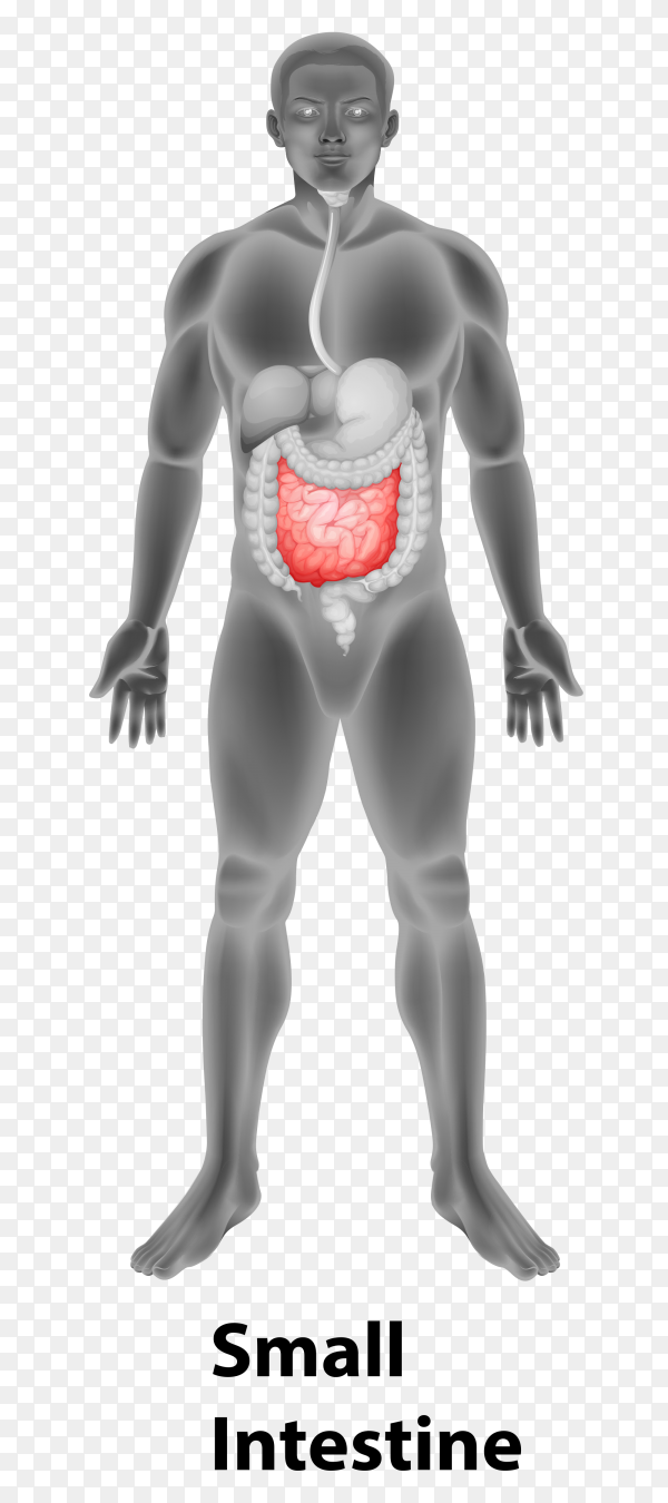 Small intestine in human body Premium Vector PNG