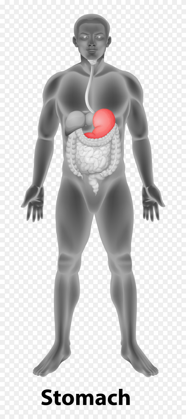 Stomach human poster Premium vector PNG