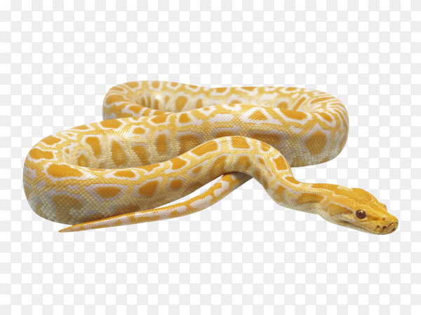 Albino burmese python on transparent background PNG