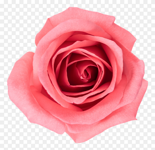 Beautiful Pink flower on transparent background PNG